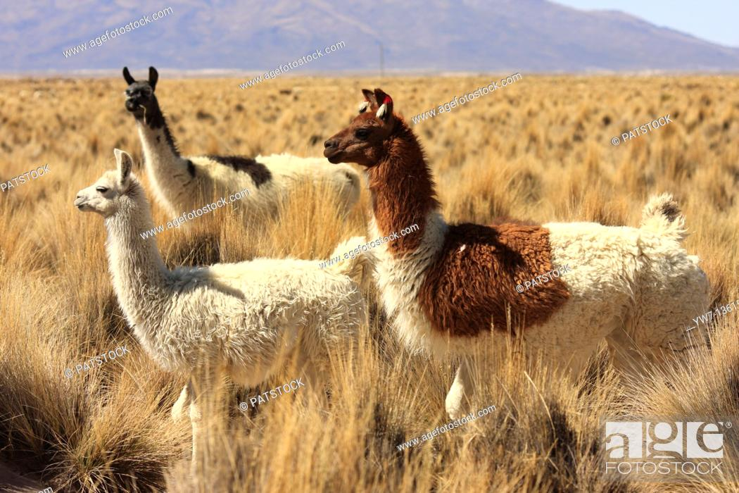Stock Photo: Llamas in the vicinity of Tahua village in Bolivia  Salar de Uyuni in the background.
