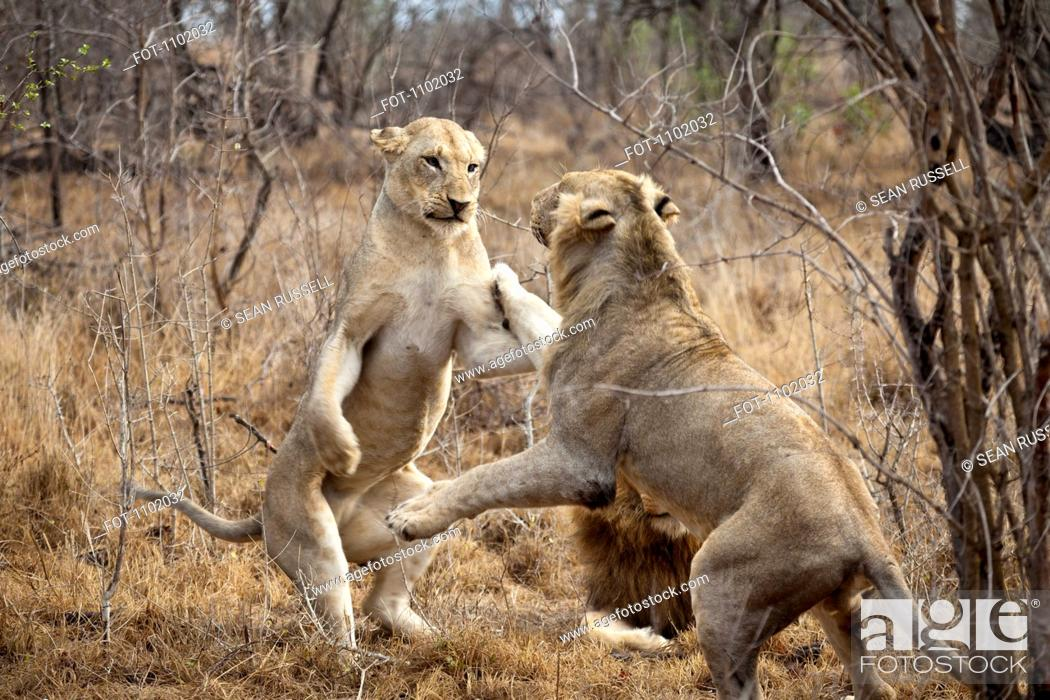 Stock Photo: Two female lions playing.