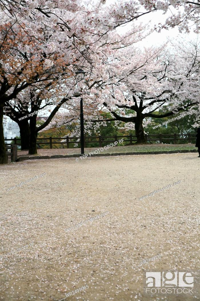 Stock Photo: Sakurahana, Kumamoto Castle, Japan.