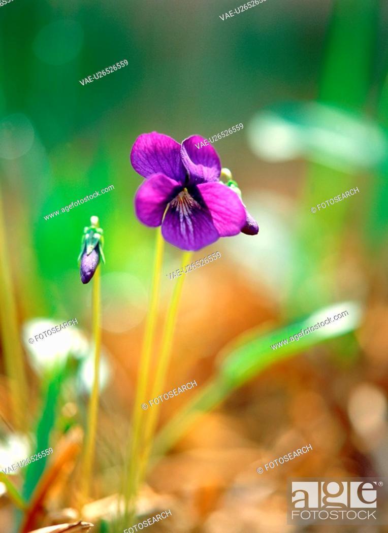 Stock Photo: plants, nature, violet, flower, plant, film.