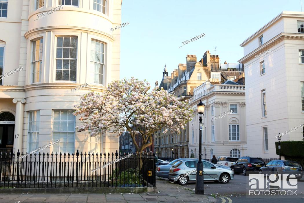 Imagen: Elegant buildings and a blooming magnolia tree in spring across from The Regents Park in the Marylebone area of London, England, UK, Europe.