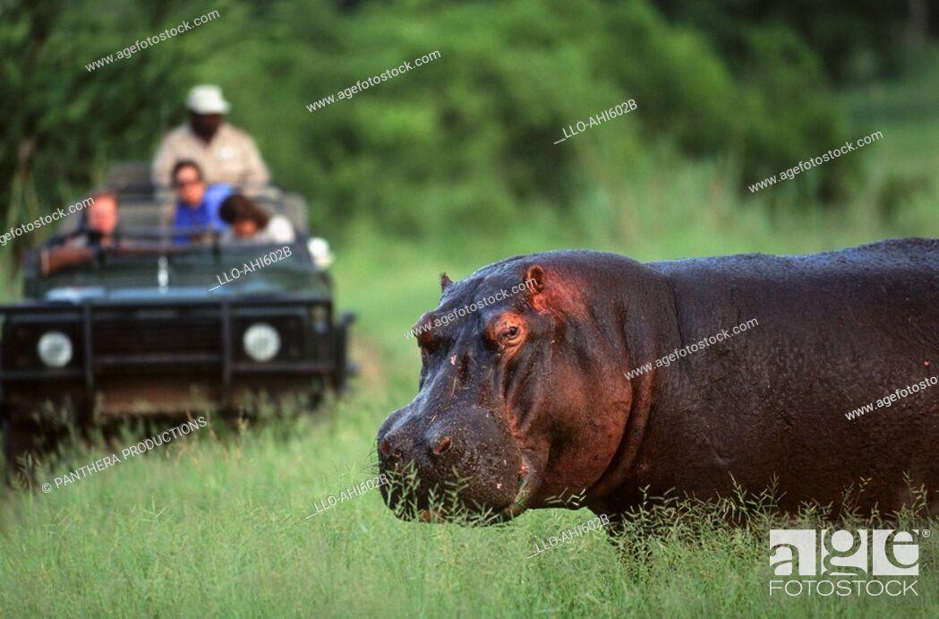 Stock Photo: Tourists Viewing a Hippo Hippopotamus amphibius from a Safari Vehicle  Kasunga National Park, Malawi.