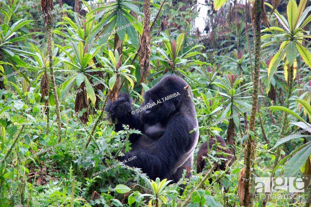 Imagen: Mountain gorilla, Gorilla beringei beringei, are one of the most endangered species in the world, scientifics estimate that their are only around 700.