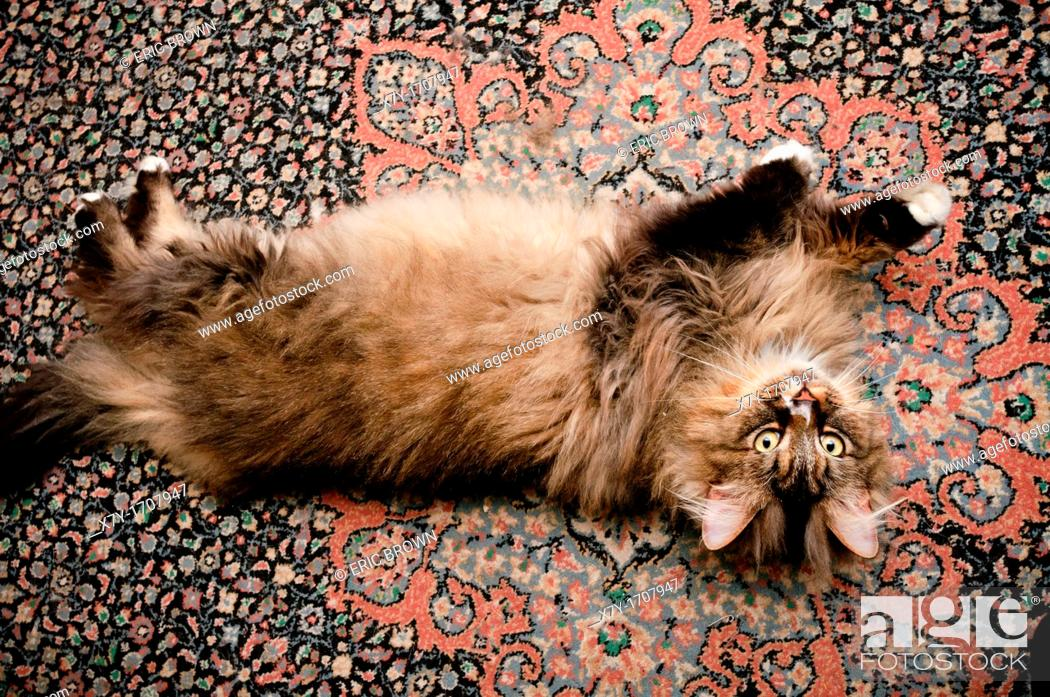 Stock Photo: A fluffy cat on its back on a rug.