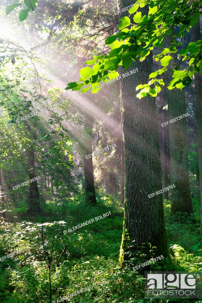 Stock Photo: Sunbeam entering rich deciduous stand of Bialowieza Forest, Podlasie Province, Poland.