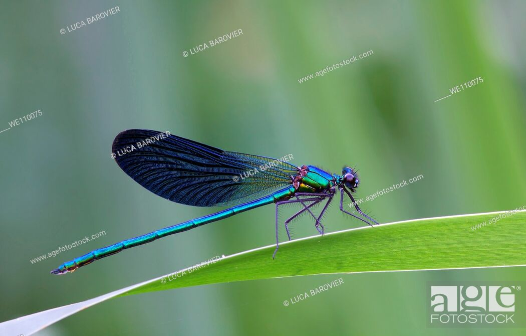 Stock Photo: Calopteryx splendens.