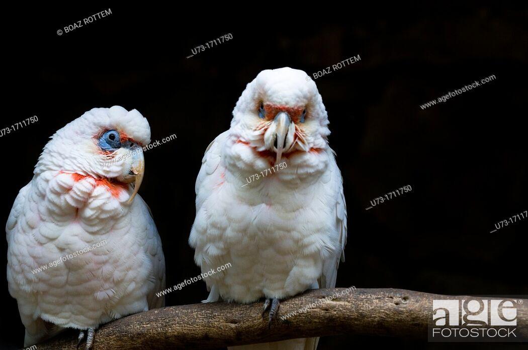 Stock Photo: The Long-billed Corella, Cacatua tenuirostris, parrot from Australia.