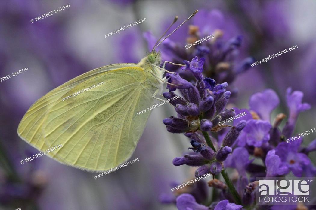 Stock Photo: Kohlweißling auf Lavendel.