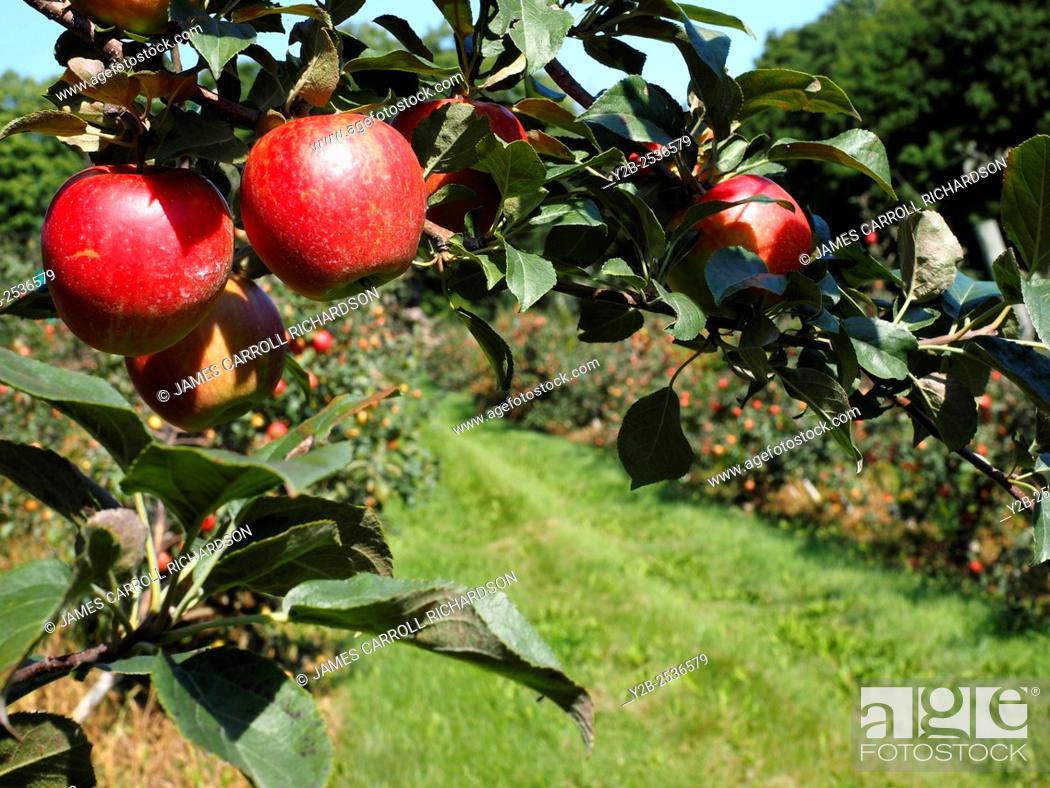 Stock Photo: Apple orchard in Door County Wisconsin.