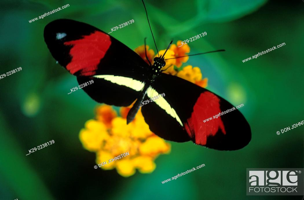 Stock Photo: Small postman (Heliconius erato), MacLeod Butterfly Gallery, Greater Sudbury, native to Costa Rica, Ontario, Canada.