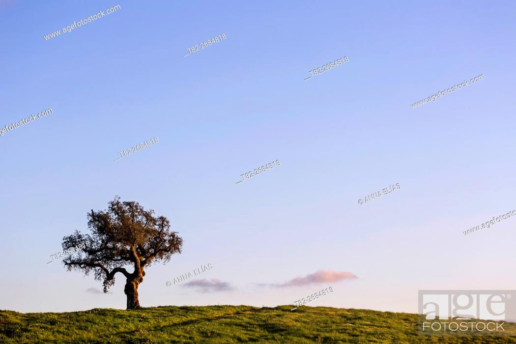 Stock Photo: Lonely oak on blue sky in the evening, Alentejo, Portugal, Europe.