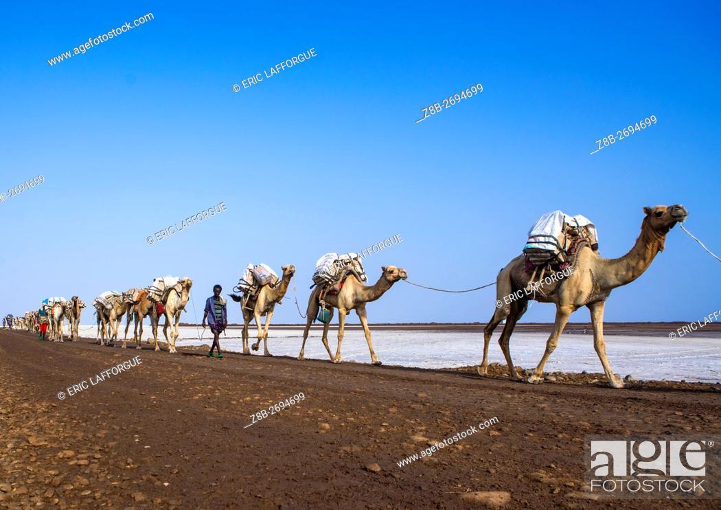 Stock Photo: Ethiopia, Afar Region, Dallol, camel caravans carrying salt blocks in the danakil depression.