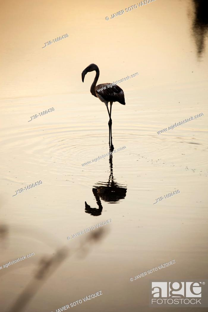 Stock Photo: Flamingo at sunset on a lake in the National park of Doñana Spain.