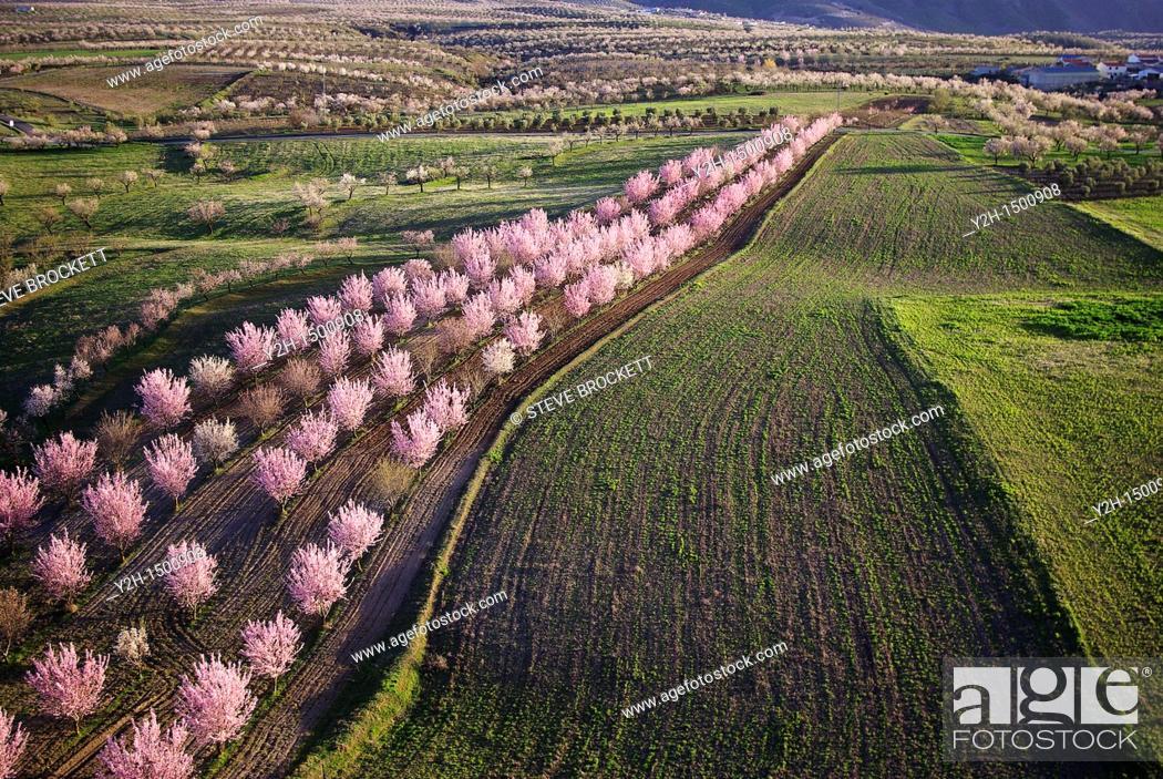 Stock Photo: Aerial view of Almond blossom, in Chirivel Almeria Spain.