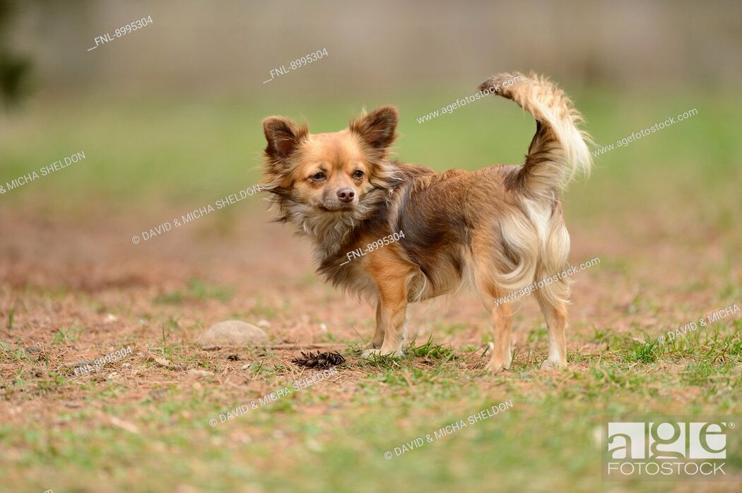 Stock Photo: Chihuahua in garden.
