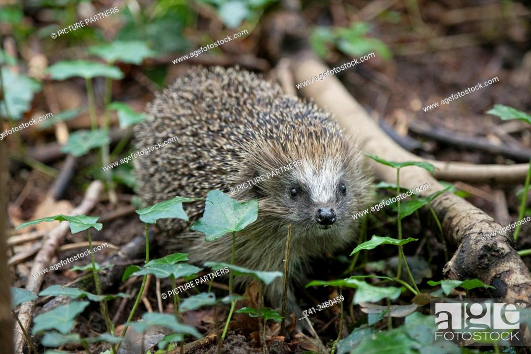 Stock Photo: European Hedgehog sniffing around in the woods.
