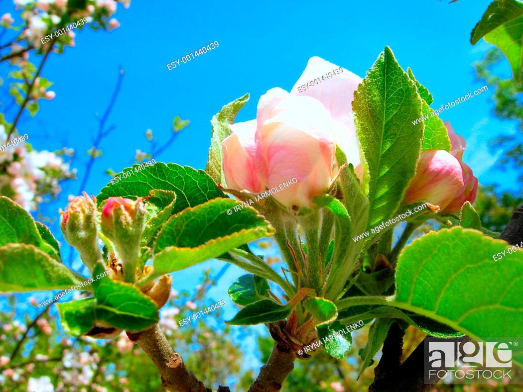 Stock Photo: Blossoming Apple Tree in front of Blue Sky in Rays of Sun.