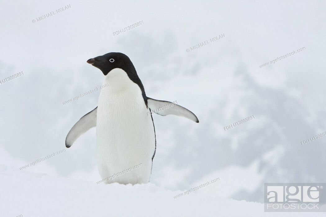 Imagen: A lone adult Adelie penguin Pygoscelis adeliae on an iceberg off Port Lockroy, Antarctica. There are an estimated 2 million breeding pairs of chinstrap penguins.
