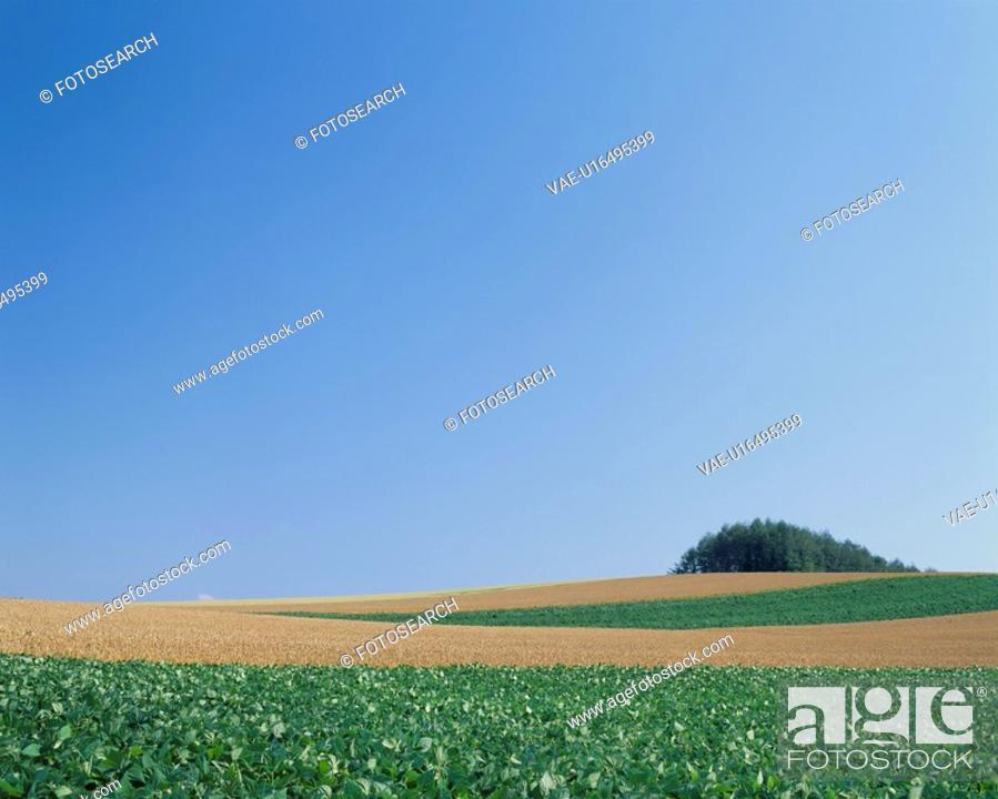 Stock Photo: A Potato Field And A Wheat Field.