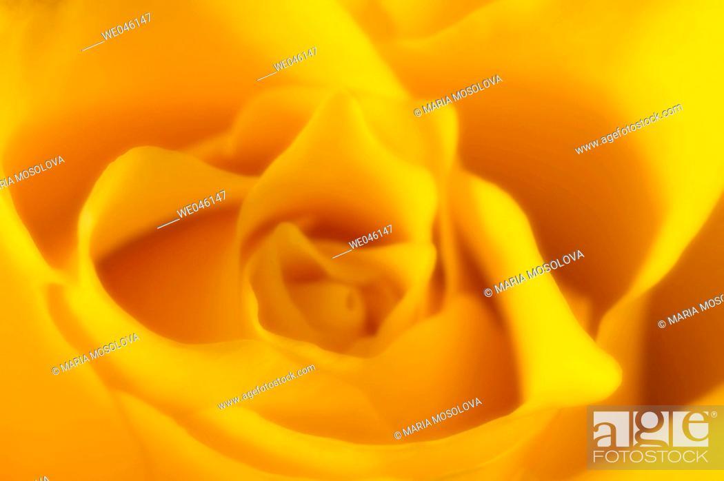 Stock Photo: Yellow Rose Close-up. Rosa hybrid, February 2005, Maryland, USA.