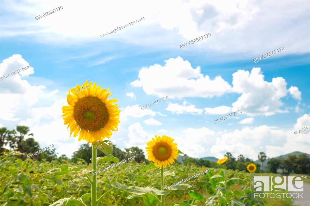 Stock Photo: Sunflower in full bloom. Sunflower cultivation in Yellow flowers bloom in summer.