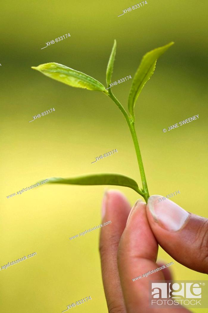 Stock Photo: India, West Bengal,  Darjeeling, Happy Valley Tea Estate, Woman tea picker holding example of high quality tea leaves - the top two leaves and a bud are used.