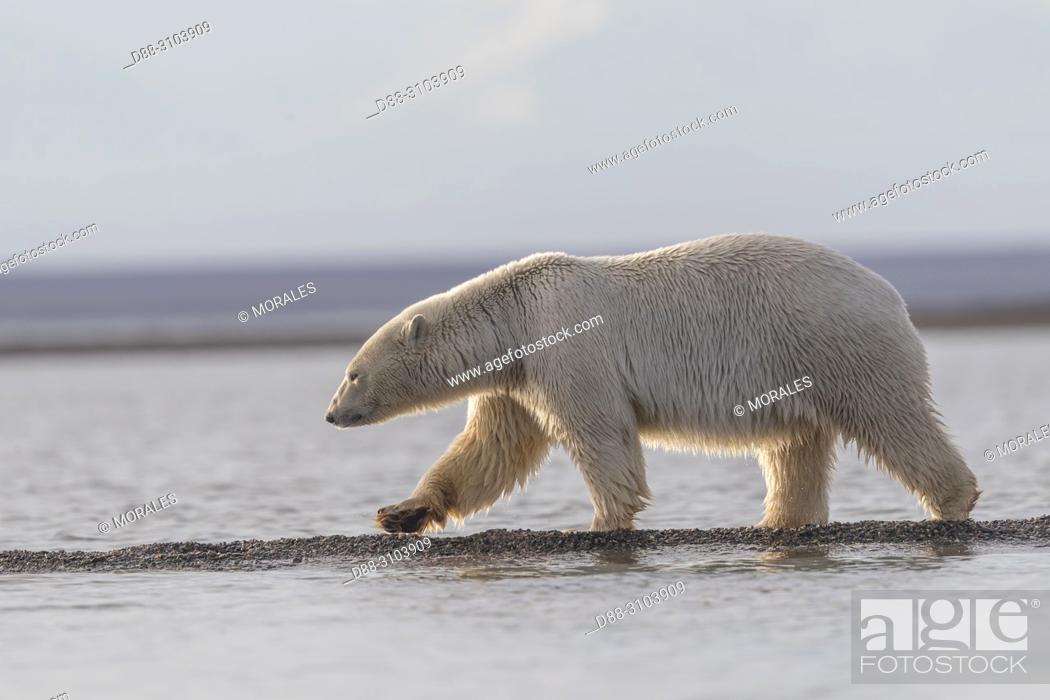 Stock Photo: United States, Alaska, Arctic National Wildlife Refuge, Kaktovik, Polar Bear( Ursus maritimus ), walking along a barrier island outside Kaktovik, Alaska.