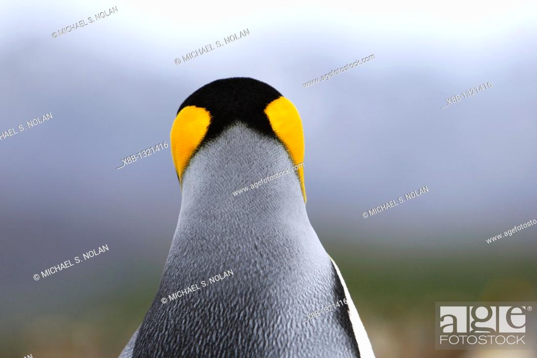 Stock Photo: King penguin Aptenodytes patagonicus head detail colony of nesting animals numbering between 70,000 and 100,000 nesting pairs on Salisbury Plain on South.