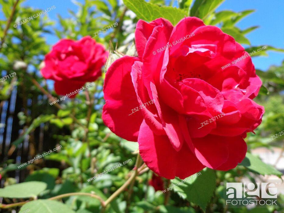 Stock Photo: Rose exhibition, Parc de Cervantes. Barcelona, Catalonia, Spain.