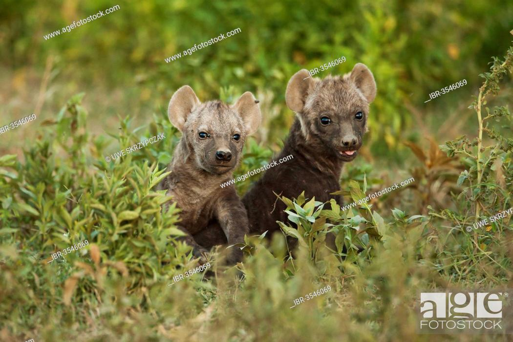Stock Photo: Spotted Hyena or Laughing Hyena (Crocuta crocuta) two cubs.