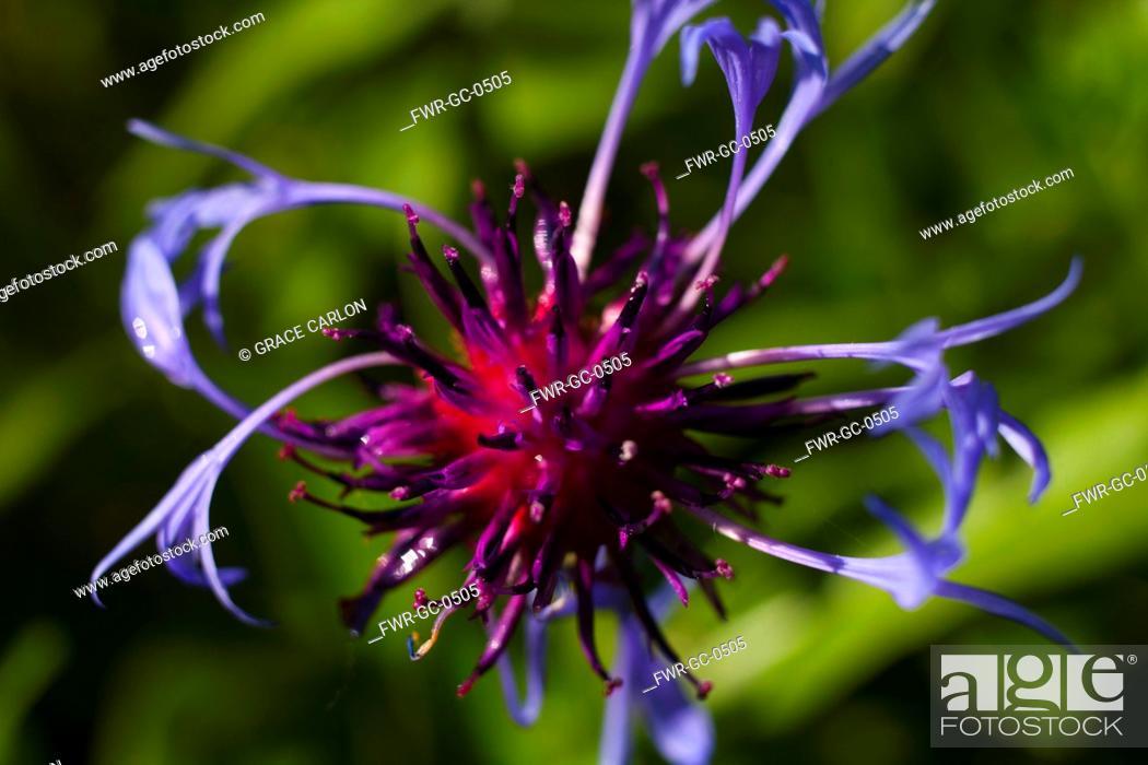 Imagen: Bergamot 'Adam', Monarda 'Adam', Purple coloured flower growing outdoor.