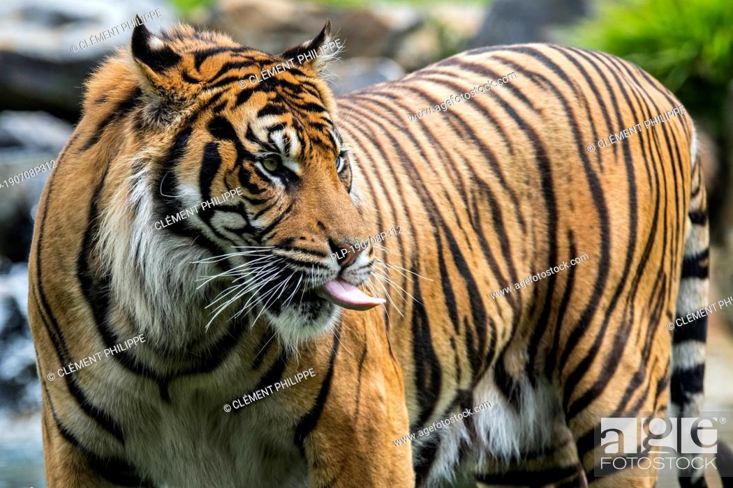Imagen: Sumatran tiger (Panthera tigris sondaica) sticking tongue out, native to the Indonesian island of Sumatra, Indonesia.