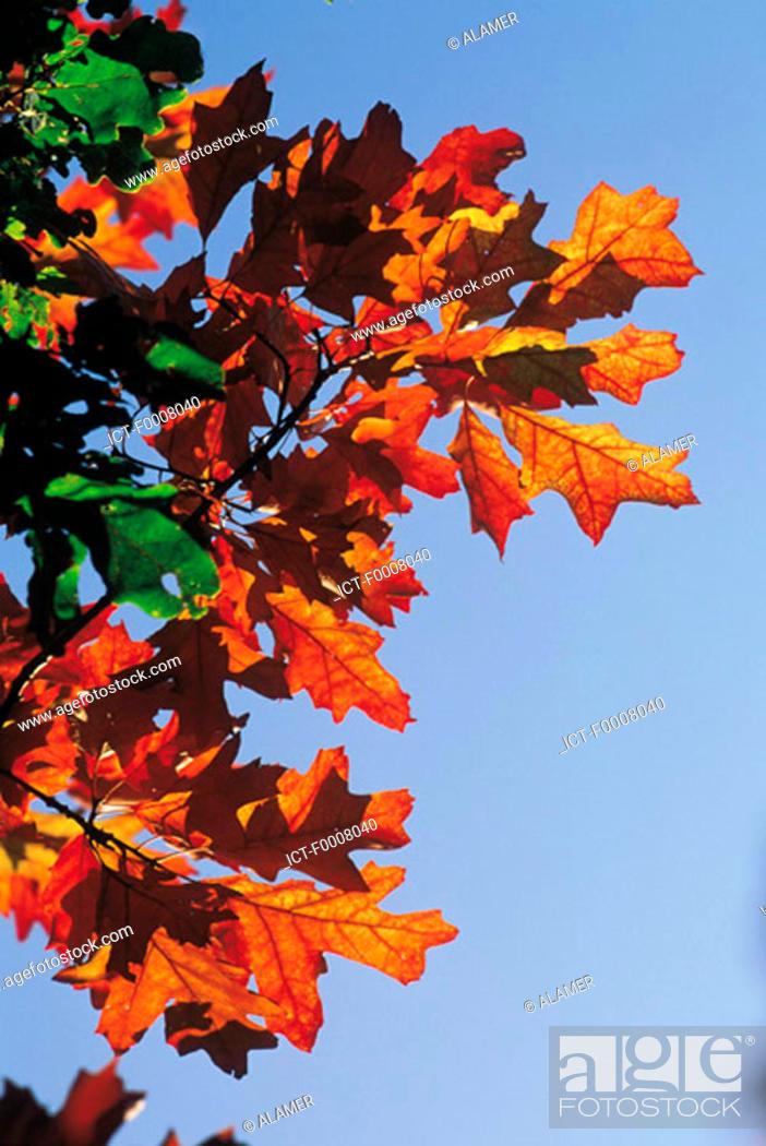Stock Photo: Red oak.