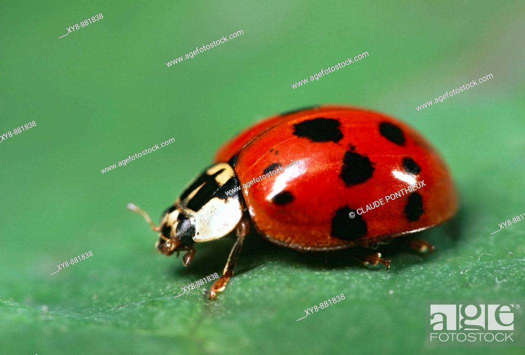 Stock Photo: Ladybug-Beetle.