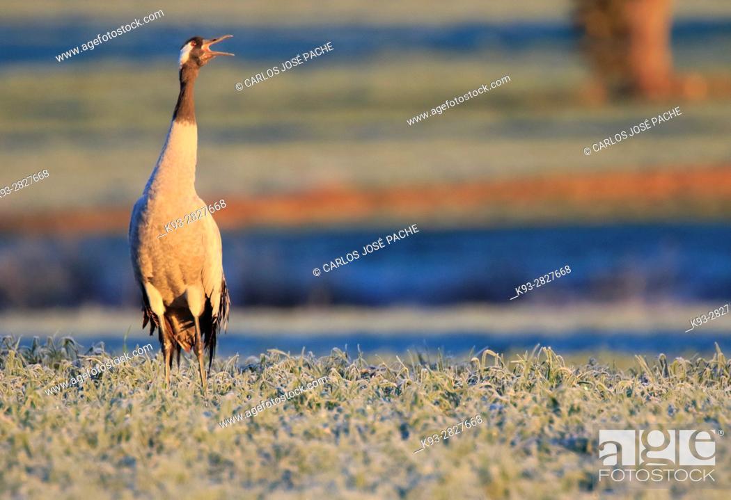 Stock Photo: Grulla Común (grus grus). Parque Nacional de Monfrague, Extremadura, Spain.