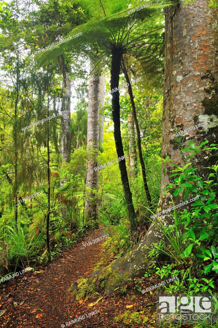 Stock Photo: Forest Trail, Waipoua Kauri Forest, Temperate Rain Forest, Northland, North Island, New Zealand.