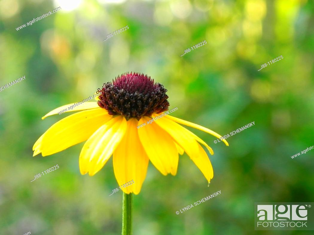 Stock Photo: Black eyed Susan flower, rudbeckia sp, in the late afternoon garden.