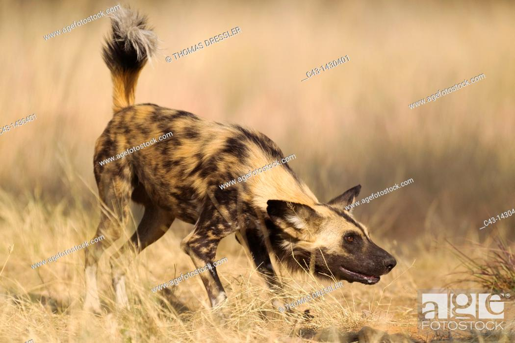 Stock Photo: African Wild Dog Lycaon pictus - This captive animal is fed and show the same aggressive behaviour at the feeding place as it would do in the wild when.