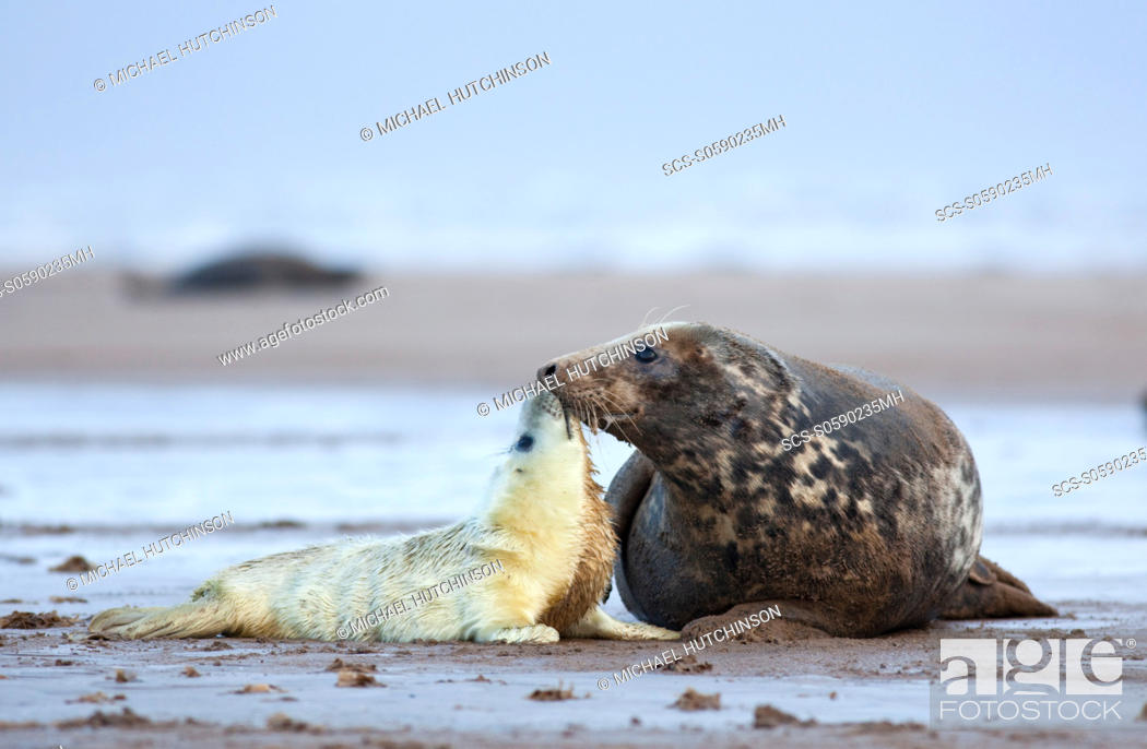 Stock Photo: Grey Seal Halichoerus grypus pup interacting with adult female mother November Donna Nook, Lincolnshire, UK.
