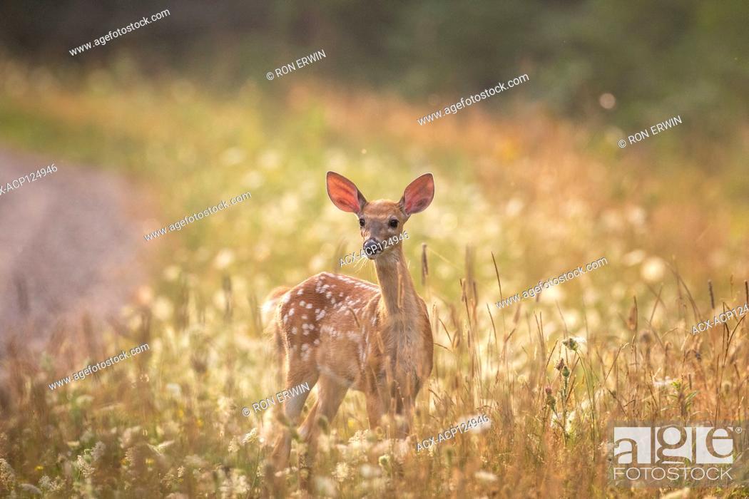 Photo de stock: White-tailed Deer fawn (Odocoileus virginianus), Barrie Island, Manitoulin Island, Ontario, Canada.