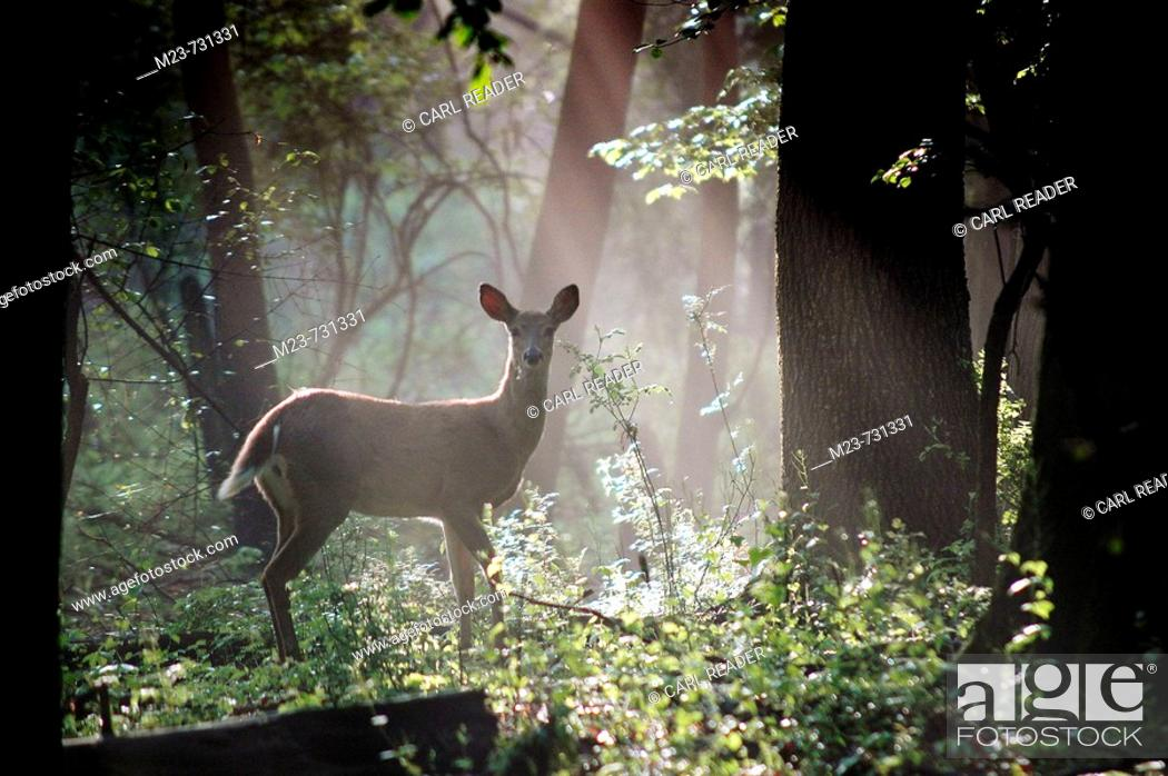 Stock Photo: A white-tailed doe deer is caught in a shaft of early morning mist and light, Pennsylvania, USA.