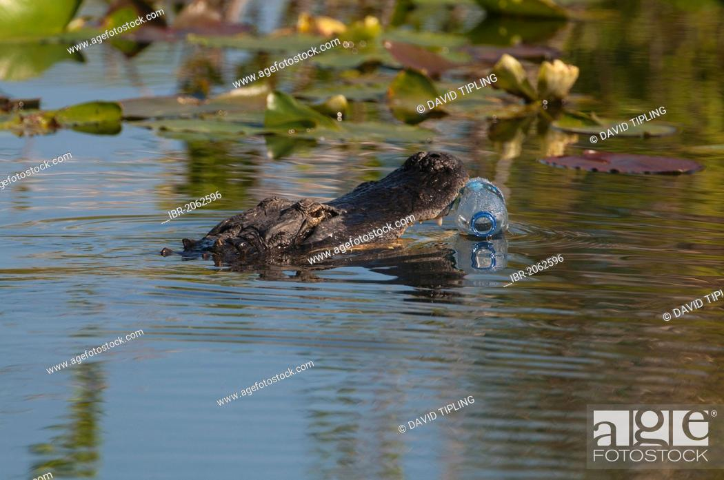 Stock Photo: American Alligator (Alligator mississippiensis) attempting to eat a plastic bottle, Anhinga Trail, Everglades, Florida, USA.