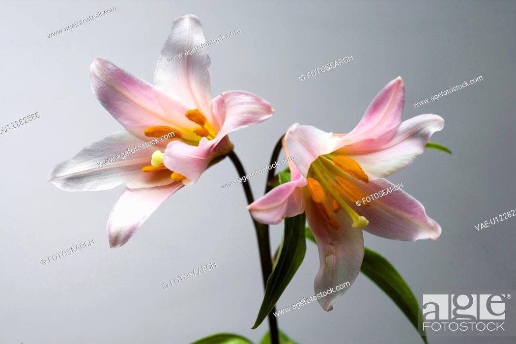 Stock Photo: Lilium rubellum.