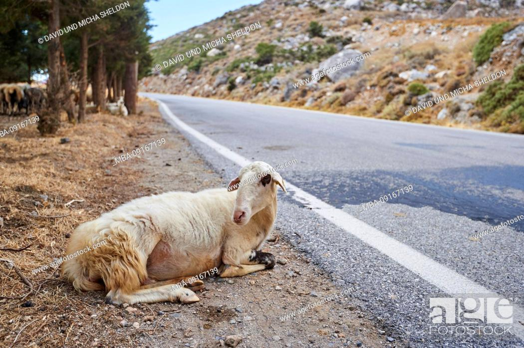 Stock Photo: Domestic sheep, Ovis orientalis aries, lie roadside, summer, lateral, Crete, Greece.