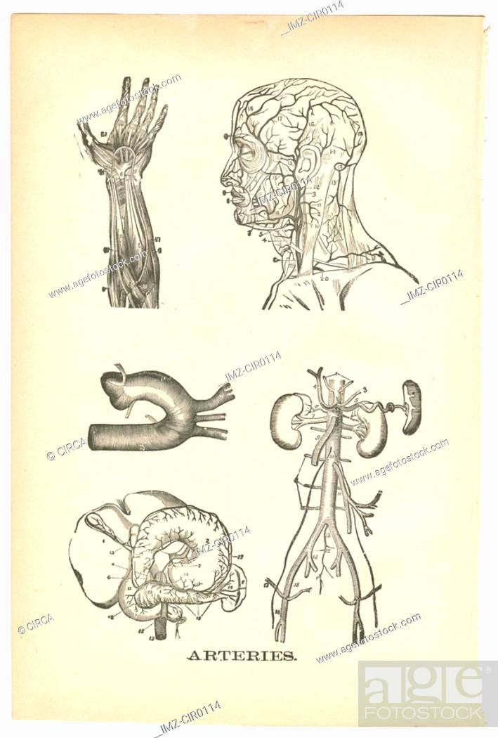 Stock Photo: Illustrations of arteries from a vintage medical book.