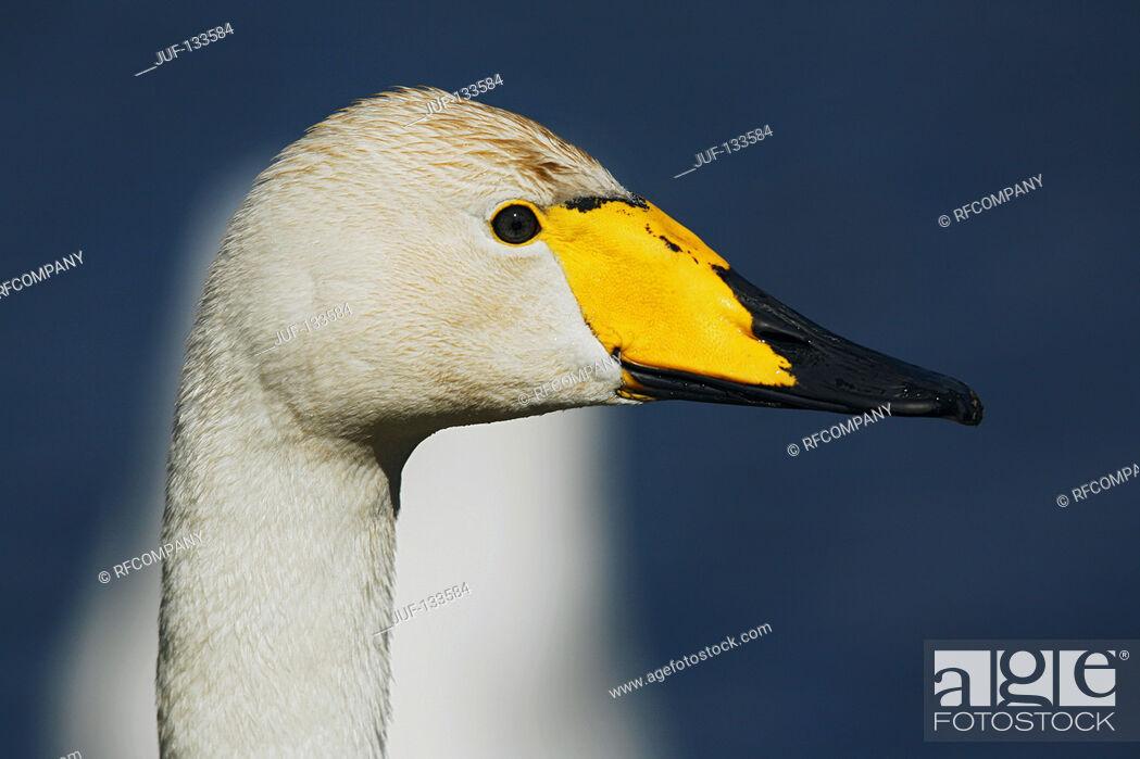 Imagen: whooper swan - portrait / Cygnus cygnus.