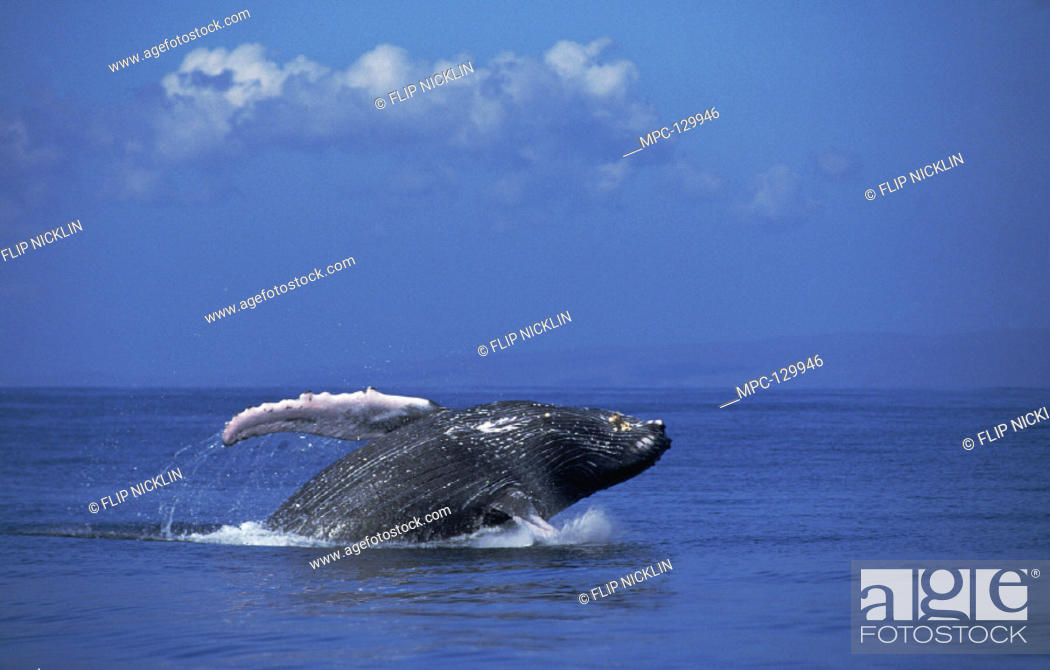 Stock Photo: HUMPBACK WHALE (Megaptera novaeangliae),  BREACHING, MAUI, HAWAII. NOTICE MUST  ACCOMPANY PUBLISHED PHOTO PHOTO OBTAINED  UNDER N.M.F.S. PERMIT #987.