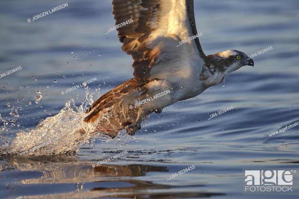 Stock Photo: Osprey fishing, Lake Malaren, Sodermanland, Sweden.