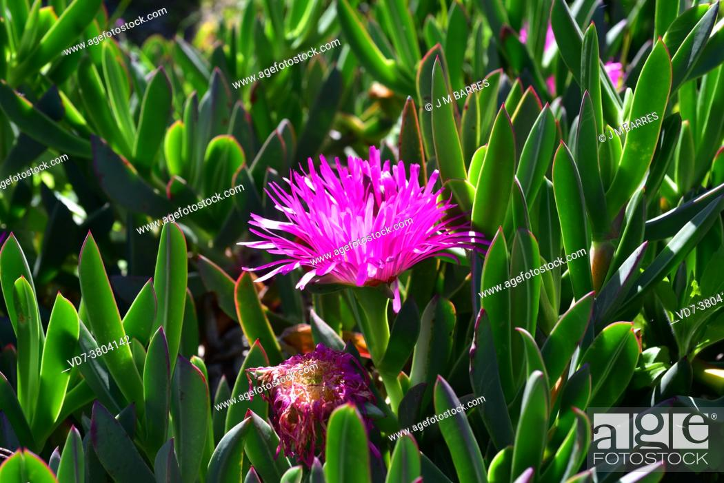Imagen: West-coast sourfig (Carpobrotus quadrifidus or Carpobrotus saureae) is a perennial creeping plant native to western coasts of South Africa.