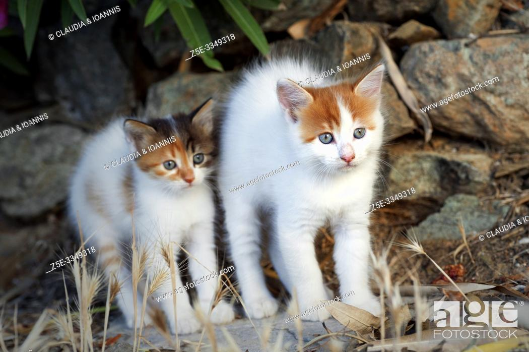 Stock Photo: Two kittens are standing outdoors side by side being scared and arching their backs.
